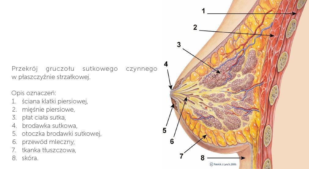 przekrój gruczołu sutkowego czunnego w płaszczyźnie strzałkowewj