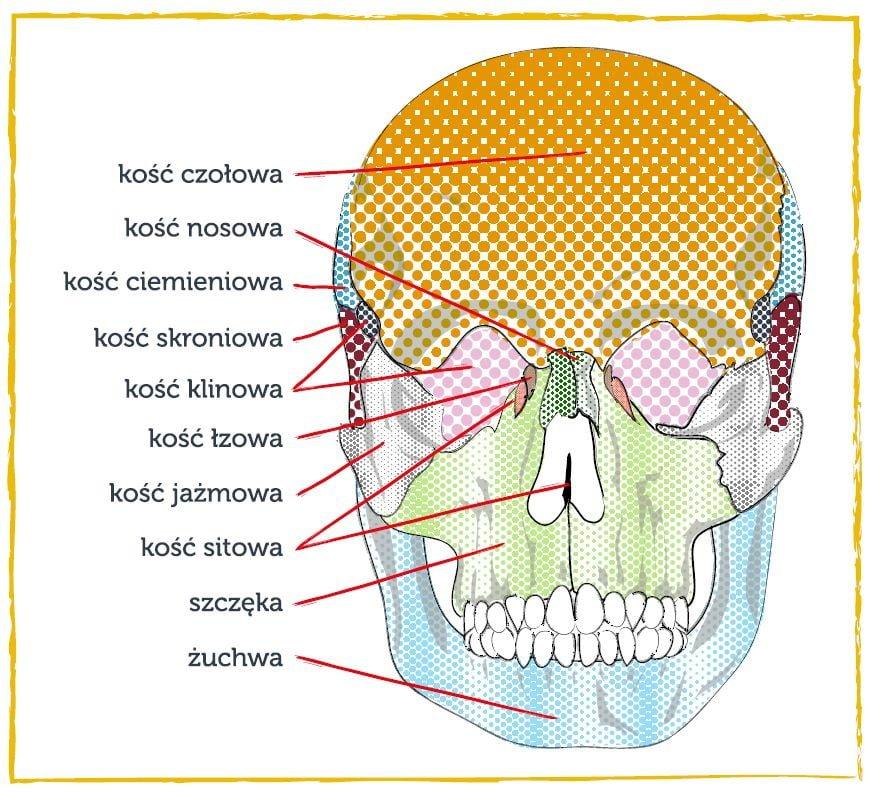 budowa czaszki terapia czaszkowo krzyzowa